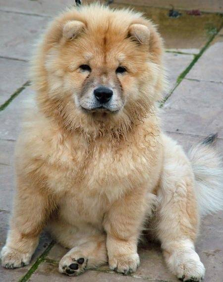 What Is The Result Of A Chow And Pomerian Mix Quora