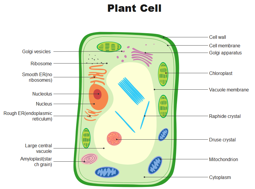 how to draw a venn diagram of animal and plant cells quora biology for plant cell diagram