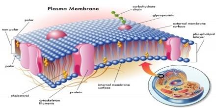 main function of plasma membrane