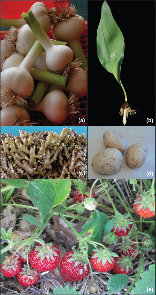 Asexually reproducing plants examples