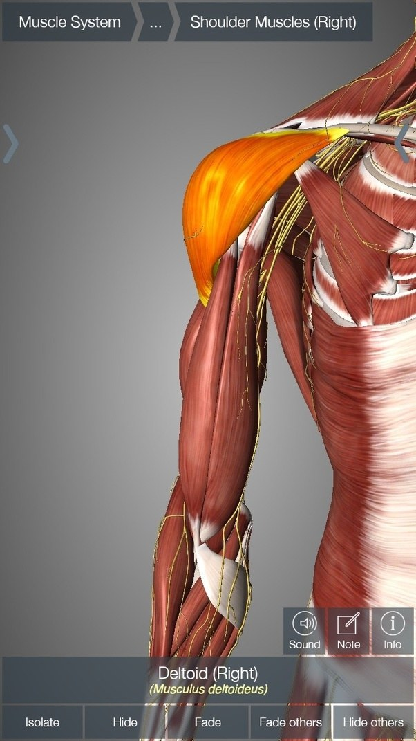 What Is The Nerve Bundle In The Deltoid Quora