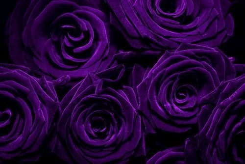 Purple Roses Background Images: What Is The Difference Between Violet And Purple?