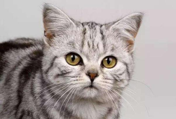 Where can I buy an American Shorthair kitten in Washington ...