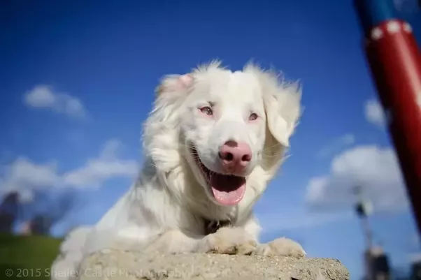 Has Anyone Ever Seen A Border Collie That Is Fully White