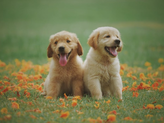 What Indian Home Made Food Can Be Feed To Golden Retriever Quora