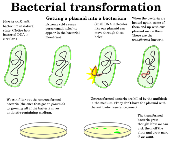 What Are Some Examples Of Microbial Transformation Quora