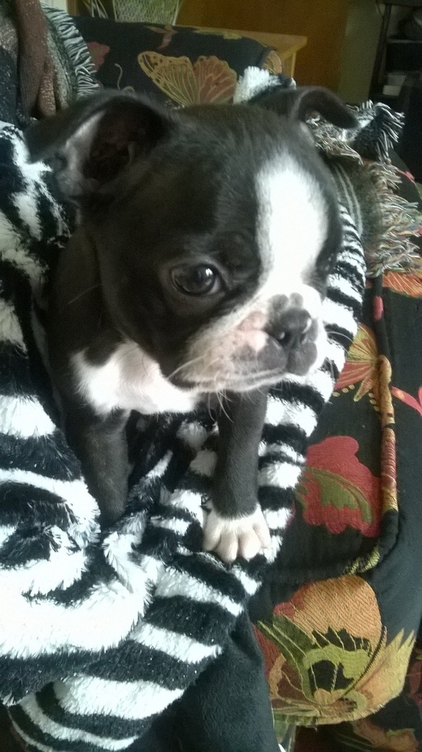 How much is a Boston Terrier puppy? - Quora