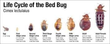 Bed Bugs Come Out At What Times
