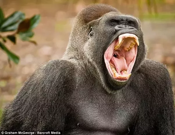 If a gorilla fought a tiger, which animal would win? - Quora - photo#3