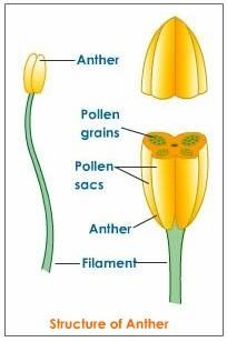 What are the four main parts of a flower quora the anther is further dissected to get small grains of pollen seeds and the sac containing them is called the pollen sac the part between anther and ccuart Choice Image