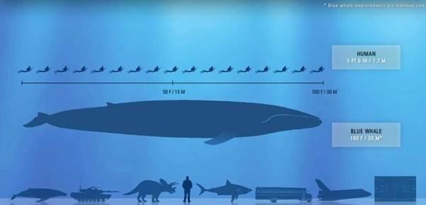 size whale Blue sperm