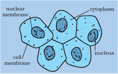 What organelles are found in a cheek scraping, and what is ...