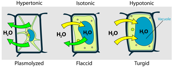 ... The Cell Wall Or In That Solution The Cell Is Neither Swollen Nor  Plasmolysed. So The Soft Loosly Hanging Cell Protoplasm Is Termed As Flaccid  Cell.