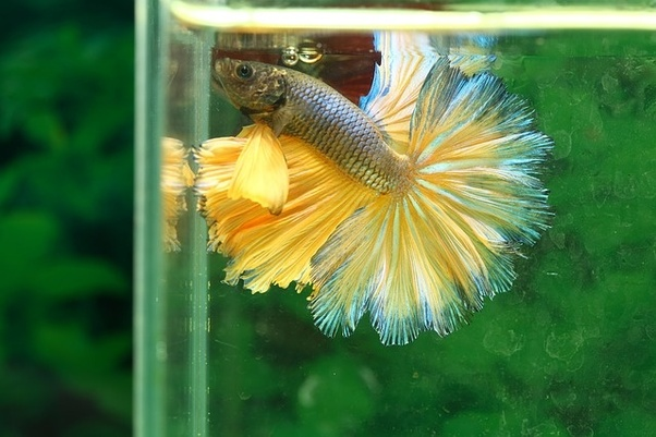 What does it mean when a Betta fish is laying on the bottom of its