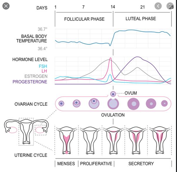 diagram for when progesterone peaks