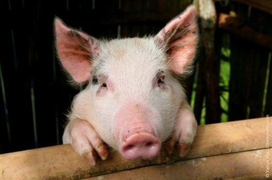 Is pork good or bad for you? - Quora