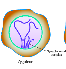 What is the difference between synapsis and synapse quora synapse the term comes up in relation to neurons e signal send across an axon jumps into adjacent dendron through a synaptic cleft ccuart Gallery