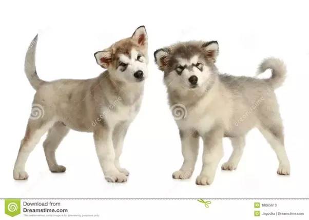 How Do One Tell That A Dog Puppy Is A Husky Or A Malamute Quora