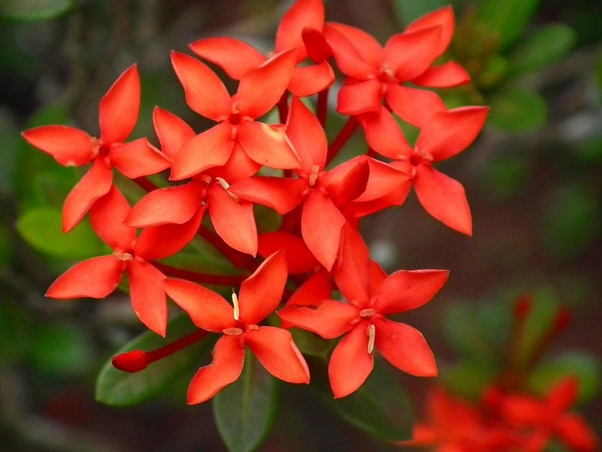 """The floral Jungle geranium, Flame of the Woods or Jungle flame (Ixora coccinea) is the Official """"National flower of Guyana"""" respectively."""