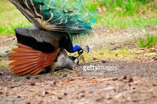 Peahen And Peacock Mating Is it true that...