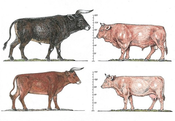 What Were Cows, Chickens, And Pigs Like Before They Became