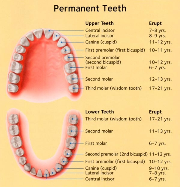 i have added a chart to explain the age of permanent teeth eruption  also  it is to be noted that the first permanent molars erupt behind the milk  teeth and