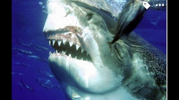 Tiger sharks are supposed to attack about anything, and