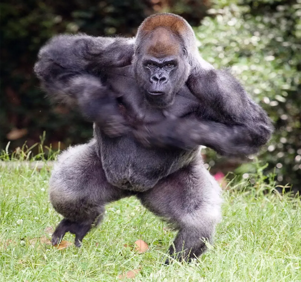 How Strong Are Silverback Gorillas Quora