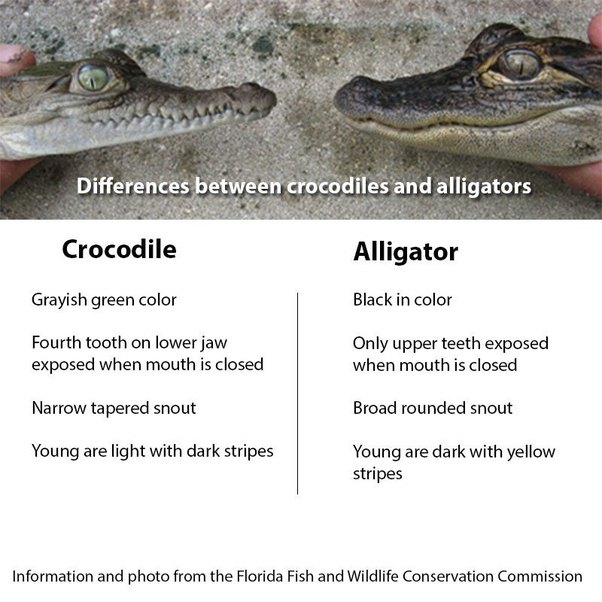 a comparison between the alligators and crocodiles Alligator vs crocodile brave wilderness loading  while often confused for one another, alligators and crocodiles are actually very different reptiles.