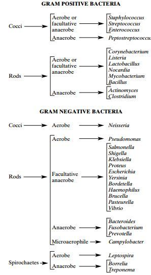 What Are Some Examples Of Gram Positive And Gram Negative Bacteria