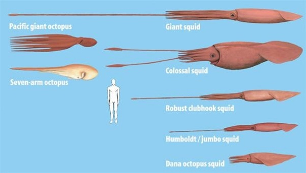 if someone ever encountered a giant or colossal squid