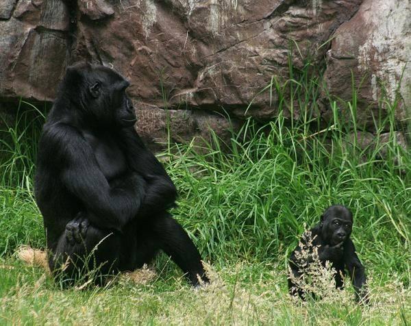 Do gorillas have the same pheromones as humans? - Quora