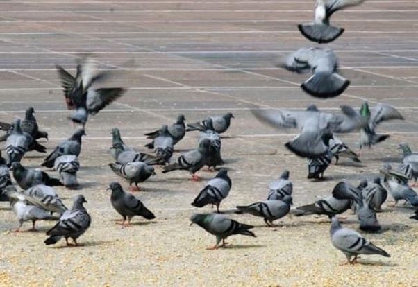 How do pigeons always find their way home? - Quora