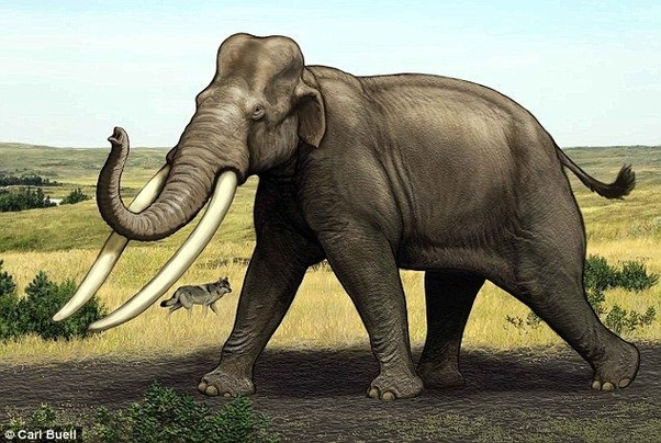 What are the differences between Stegodon and Palaeoloxodon? - Quora