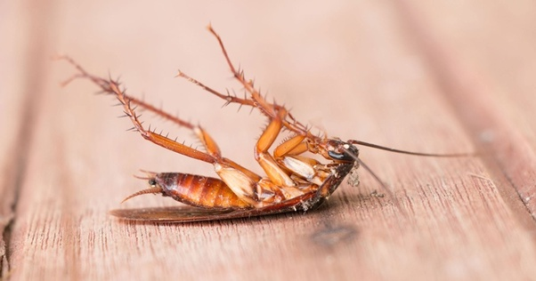 To avoid them permanently from your home take the help of professional pest control companies. Here are the best 5 home remedies to get rid of roaches.