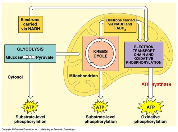 How Is 36 Atp Produced In Cellular Respiration Quora
