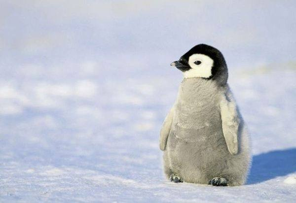 First Of All Penguins Do Not Make Good Pets Species Penguin Are Protected Legally So Its Even An Option From What I Understand These Cuties