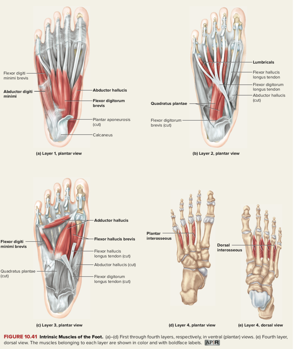 Are There Muscles In The Sole Of Our Feet And If So Can They Get Bigger With Exercise Quora