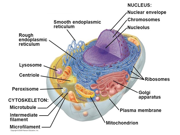 what is a eukaryotic cell quora