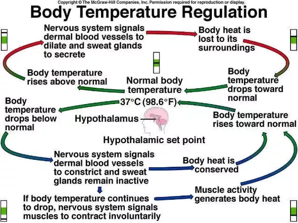 How does circulatory system regulate the body temperature quora if cold our body produces more warmth by contracting ones muscles shivering and shutting off the blood vessels to the skin thus limiting heat loss ccuart Images