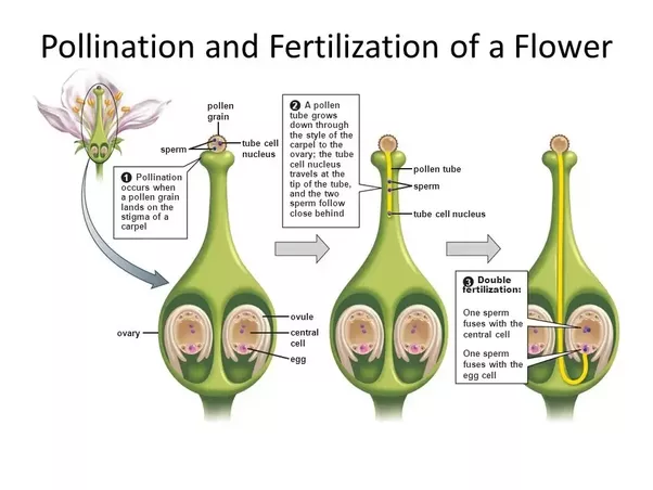 Why is the process of sexual reproduction in plants called double fertilization