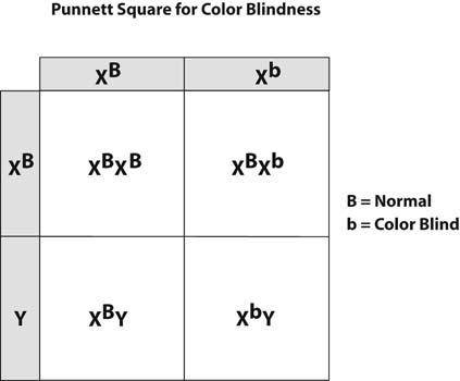 How Can A Punnett Square For Color Blindness Be Created