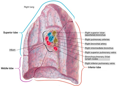 What does bilateral hilar congestion in a chest X-ray indicate? - Quora