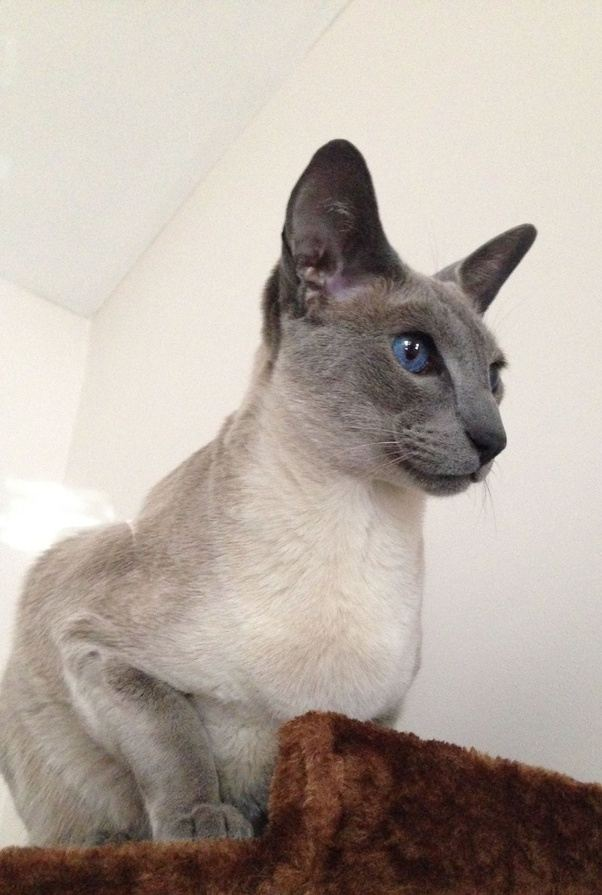 How Much Are Blue Point Siamese Cats Worth