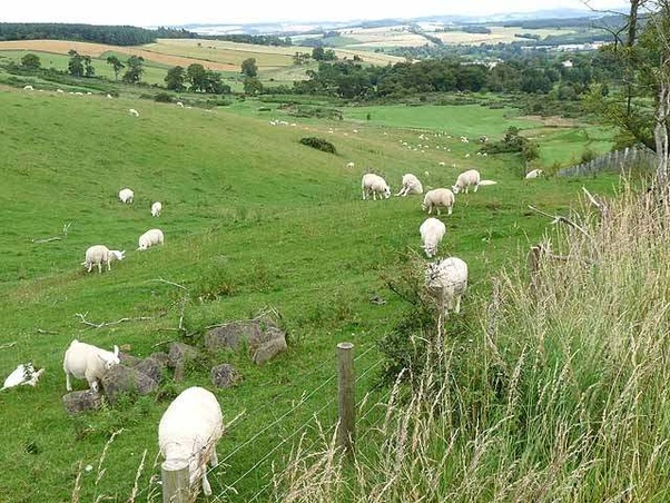 Can A Sheep Live Without A Shepherd Quora