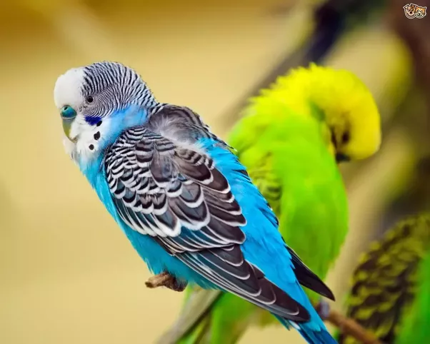 Budgerigars or budgies