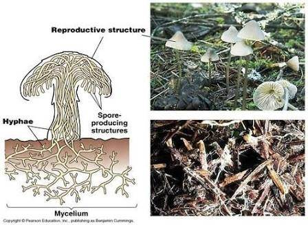 How Are Mycelium And Hyphae Different Quora