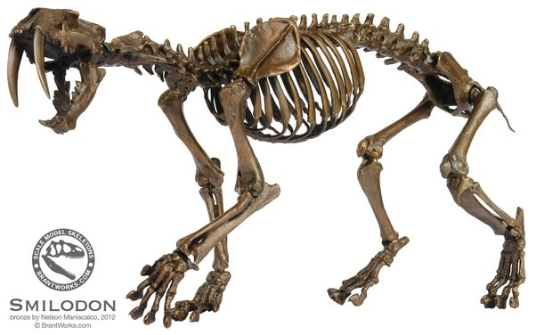 Which big cat is stronger, the Saber-Tooth Cat (Smilodon ...