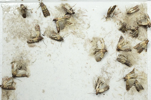 How to get rid of small brown moths around my house - Quora