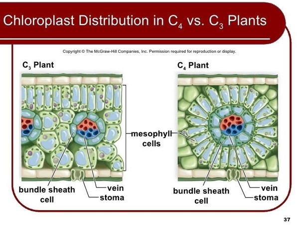 What Is The Difference Between Ts Of Monocot Leaf And Ts Of Dicot